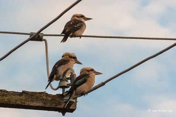 Some more Kookaburras
